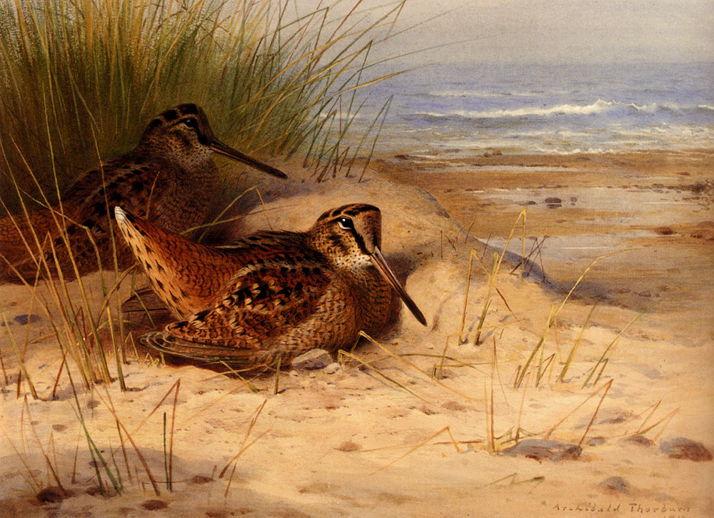 Woodcock Nesting on a Beach